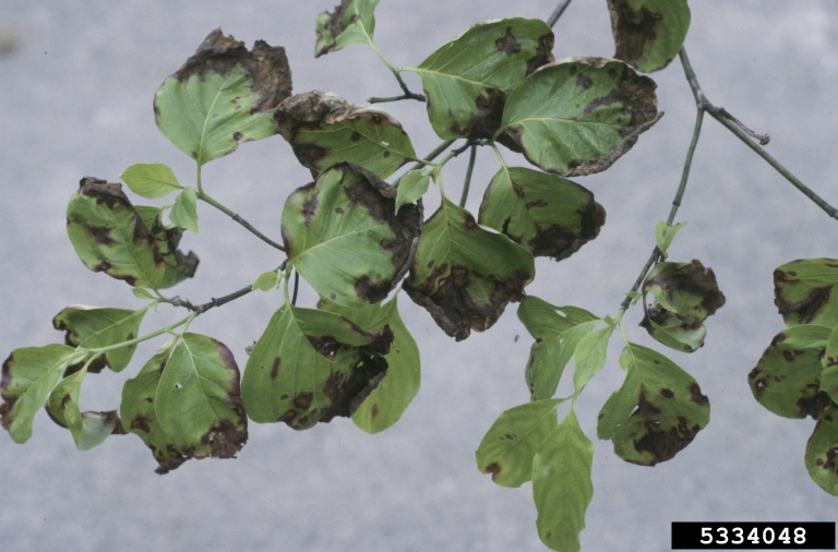 Flowering Dogwood With Anthracnose