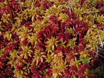 Peat Mosses