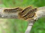 Late instar (older) browntail moth larvae.  Photo, MFS.
