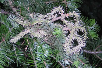 Fruiting structures of Malampsorella caryophyllacearum on fir.  Photo: Maine forest service