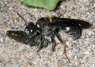 Cerceris fumipennis digger wasp with an emerald ash borer