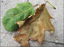 Oak anthracnose disease. Photo: Kyle Lombard NH Forest Health