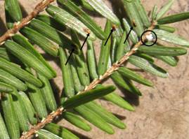 Elongate hemlock scale (Agrilus plannipennis). Photo: Maine Forest Service.