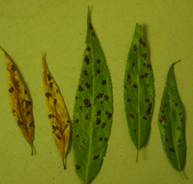 Willlow tar leaf spot (Rhytisma salicinum) on willow.  Photo: Maine Forest Service