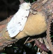 Female gypsy moth on top of fresh egg mass.  Empty pupal case visible at bottom right of photo.  Photo: Maine Forest Service.