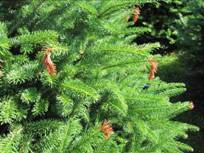 Balsam fir tip blight caused by Delphinella balsameae.  Photo: Maine Forest Service.