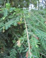 Appearance in early July of hemlock tip blight caused by Sirococcus tsugae, Cape Elizabeth, Maine.  Photo: Maine Forest Service.