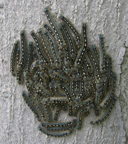 Forest Tent Caterpillar Malacosoma disstria (Hubner) & Tent Caterpillars: Insect u0026 Disease Fact Sheets: Forest Health ...