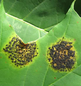 Tar Leaf Spot of Norway Maple: Insect & Disease Fact Sheets ...
