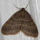 Male winter moth. Photo: Bo Zamba