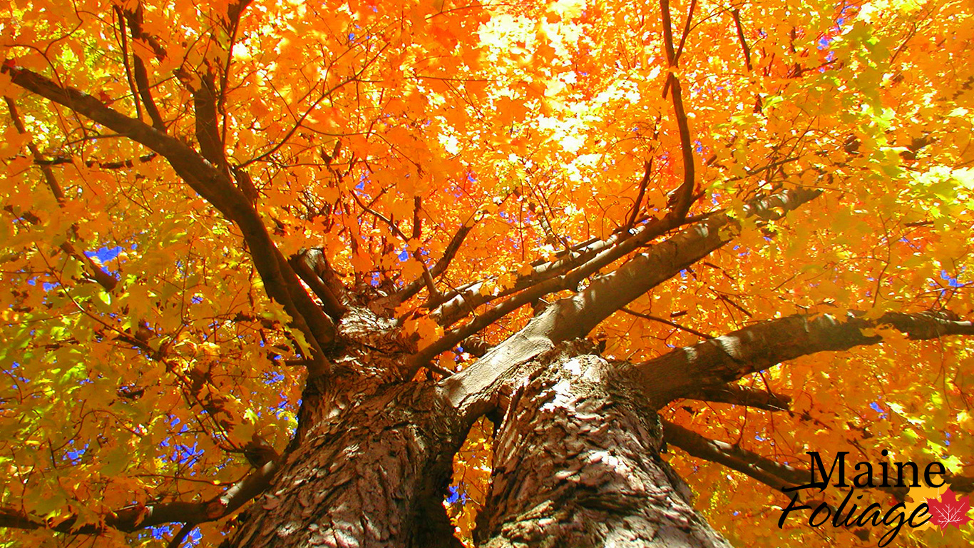 Mainefoliage Com Photo Gallery Foliage Wallpaper