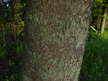 Maine Natural Areas Program Invasive Plants Norway Maple - Norway maple bark
