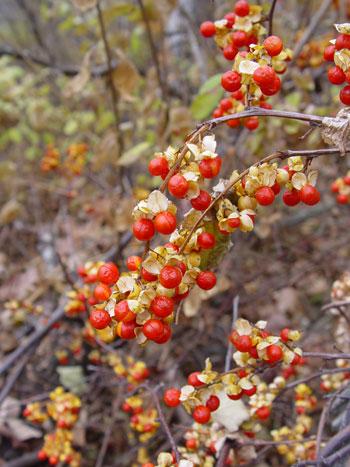 Maine Natural Areas Program Invasive Plants Asiatic