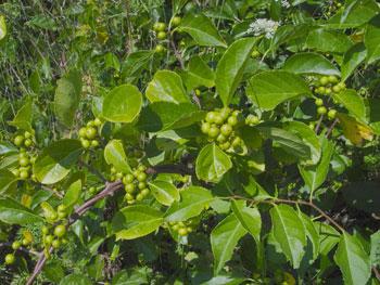 Maine Natural Areas Program Invasive Plants Asiatic Bittersweet,Napoleon Pastry Near Me