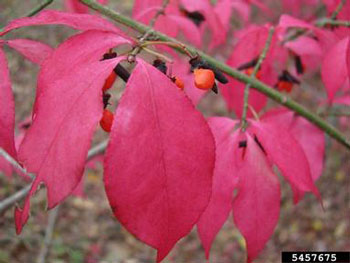 Maine natural areas program invasive plants burning bush euonymous alatus stem with red fall leaves and berries mightylinksfo