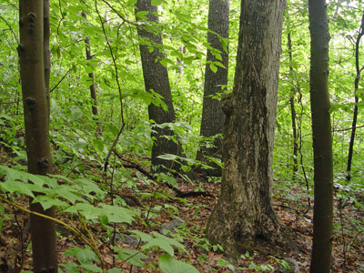 scientific names of trees pdf hardwoods and soft woods