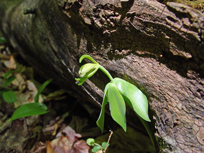 Maine Natural Areas Program Rare Plant Fact Sheet For