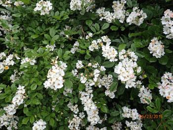 Multiflora Rose Fruit