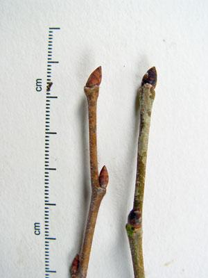 Ulmus Americana Twig Maine Natural A...
