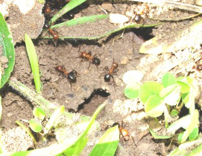 Allegheny Mound Ants Up Close