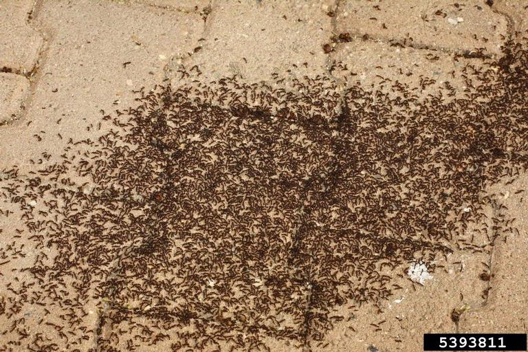 Ants Commonly Found In And Around Structures