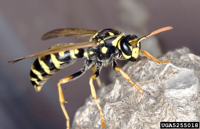 paper hornets Explore this article for information on interesting and fun facts about wasps  paper wasps and bald faced hornets  their nests are made of a paper-like.