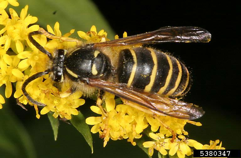 A Typical Yellowjacket Worker Is About 1 2 Inch Long Short And Blocky With Alternating Black Yellow Bands On The Abdomen While Queen