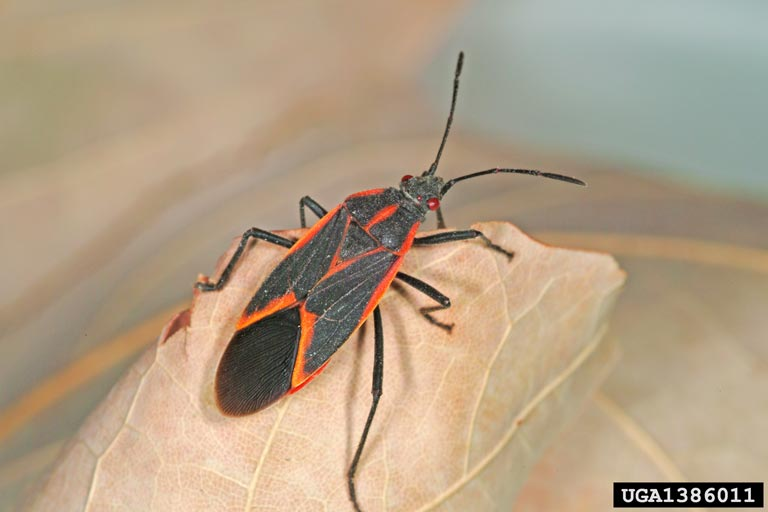 Adult bugs are about 1 2 inch long and 1 6 inch wide  They are black with  red lines  one line along each side of the body and diagonal lines on each  wing. Got Pests