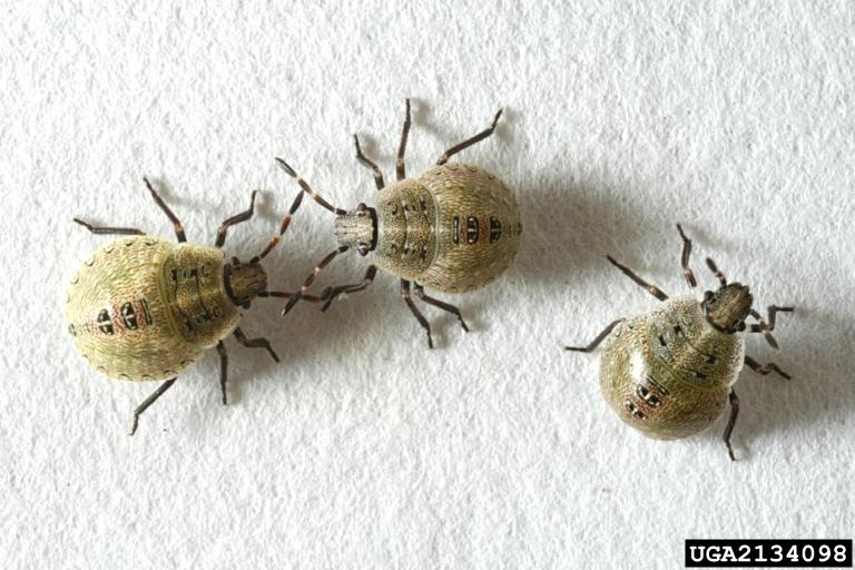 third instar nymphs brown stink bug. Got Pests