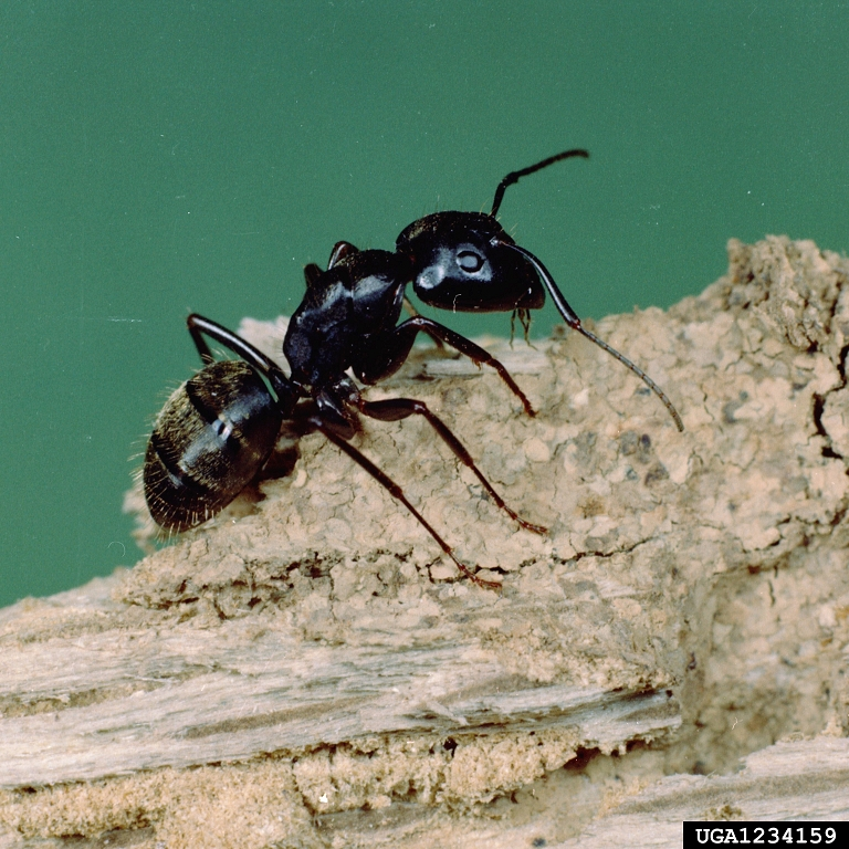 big black ant - photo #29