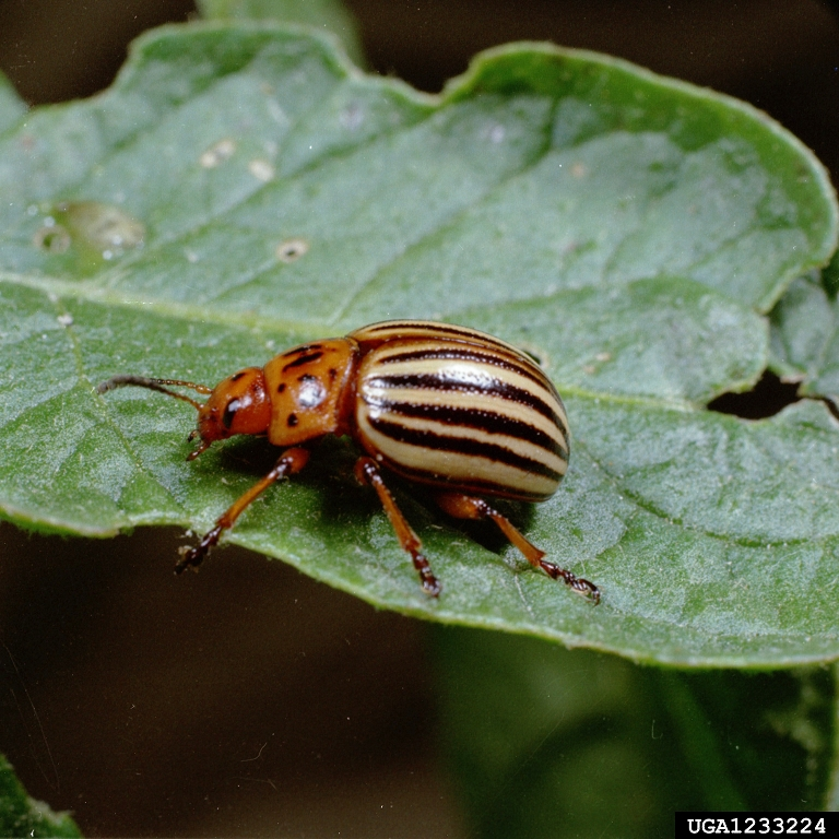 Adult beetles are approximately   inch long with an oval  convex body   There are 10 alternating yellow and black stripes on the wing covers. Got Pests