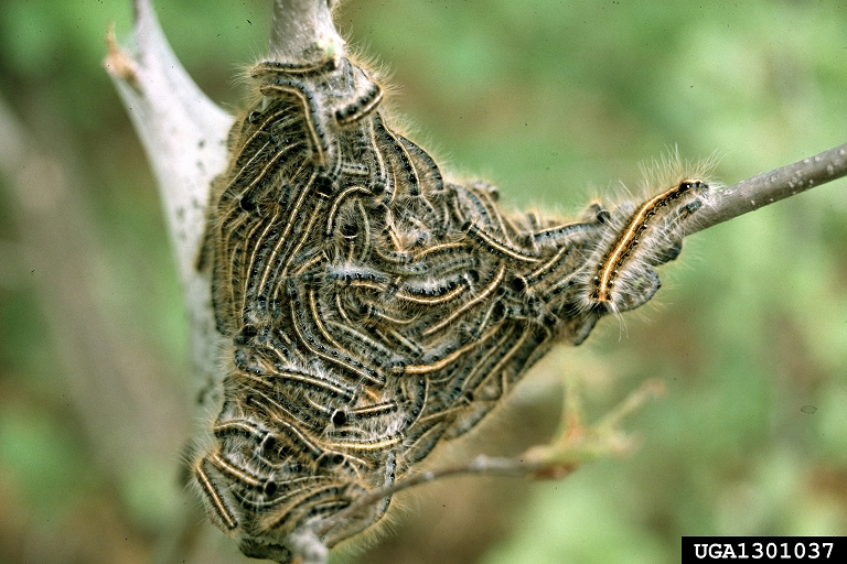 Eastern Tent Caterpillars Above Forest Below Moths On The