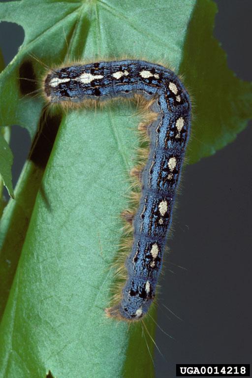 Tent Caterpillar Damage