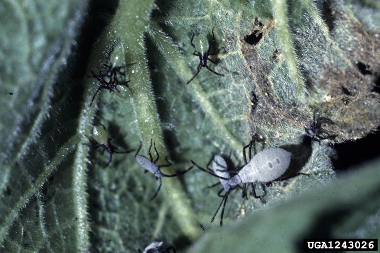Gray Bugs On My Pumpkins : Got pests