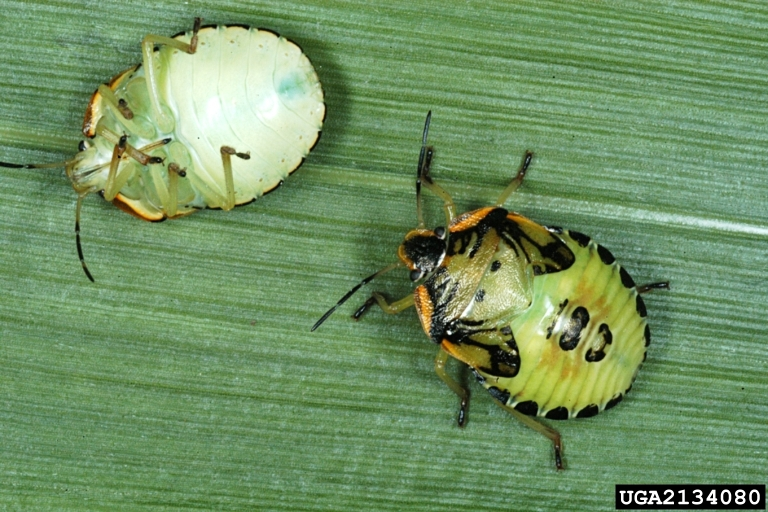 The nymphs are smaller than adults  but similar in shape  Green stink bug  nymphs are predominantly black when small  but as they mature. Got Pests