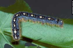 how to kill forest tent caterpillars