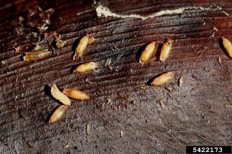 Fruit fly pupa - photo#12