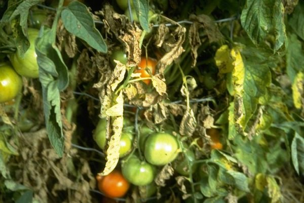 Tomato Plant With Symptoms Of Leaf Spot