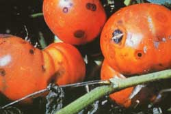 tomato diseases and pests pictures pdf