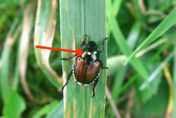 Japanese beetle adult withwinsome fly eggs