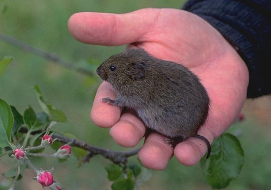 Voles Have Short Legs Tails Small Eyes And Partially Hidden Ears Fur Varies From Brown To Gray They Are About 4 8 Inches Long Including Tail