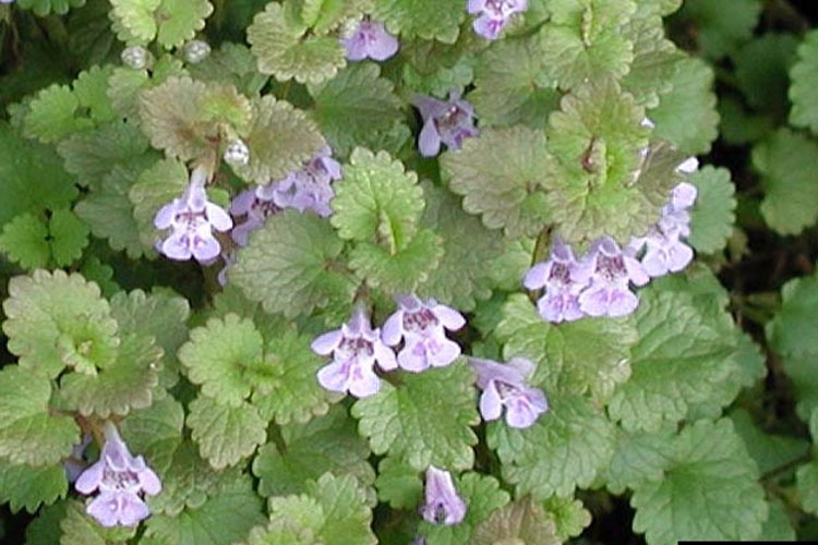 Got pests light blue to bluish purple funnel shaped flowers bloom from april to june when the plant is crushed it produces a strong mint like odor mightylinksfo