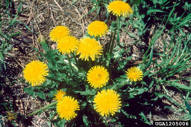 Got pests dandelion seedlings dandelion flowers mightylinksfo