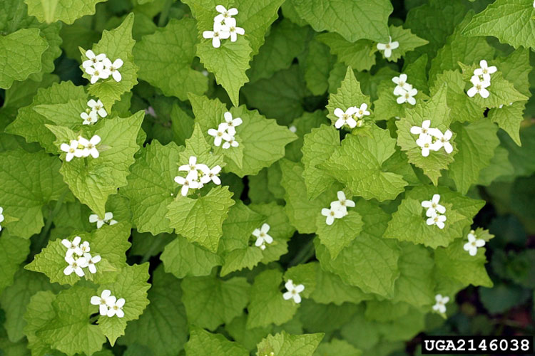 Got pests garlic mustard leaves garlic mustard plant garlic mustard flowers mightylinksfo