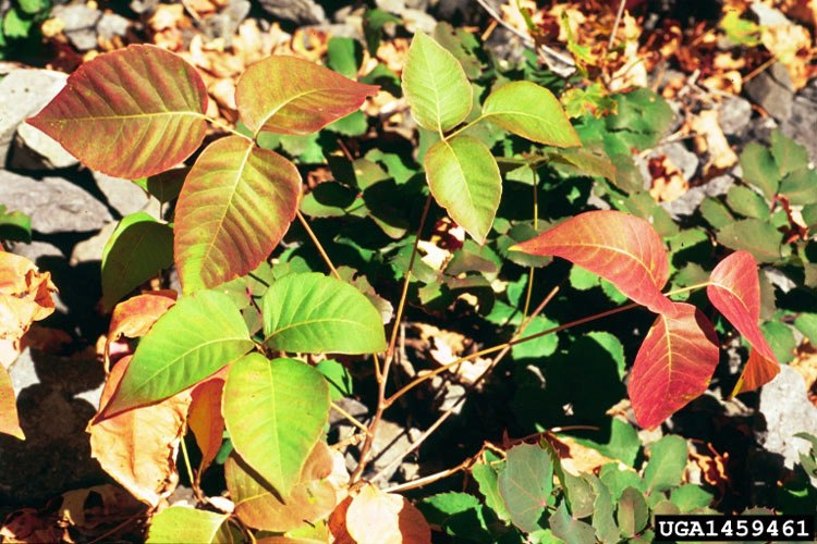 poison ivy leaves in fall
