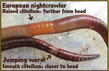 Crazy Worms Amynthas In Maine Dacf