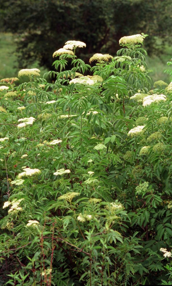 Giant Hogweed And Lookalikes Giant Hogweed Horticulture Aph