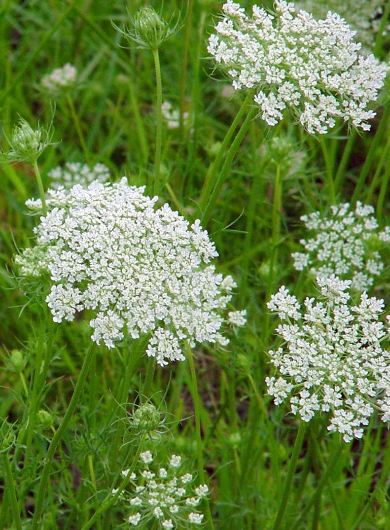 Giant hogweed look a likes giant hogweed horticulture aph maine acf small white flowers in a flat cluster 3 to 4 inches wide from may to october mightylinksfo