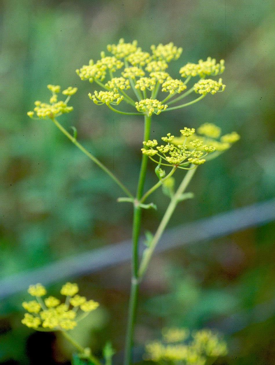 Giant hogweed look a likes giant hogweed horticulture aph maine acf hollow stems yellow flowers mightylinksfo Gallery
