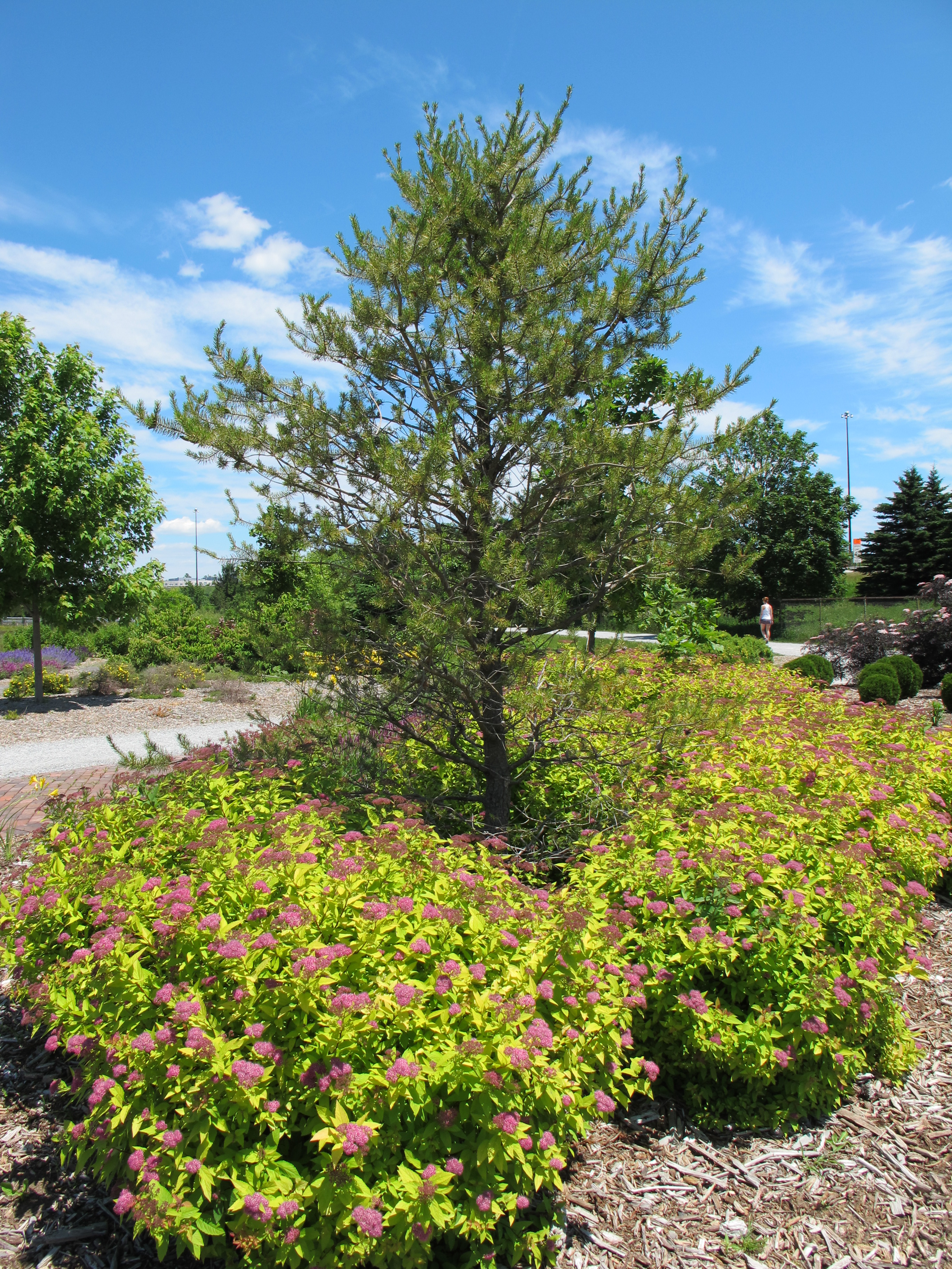 YardScaping Gardens At Back Cove View · YardScaping Gardens At Back Cove  Tree And Shrubs ...